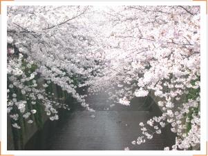 20120318sakura1.jpg